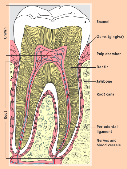 Diagram of tooth