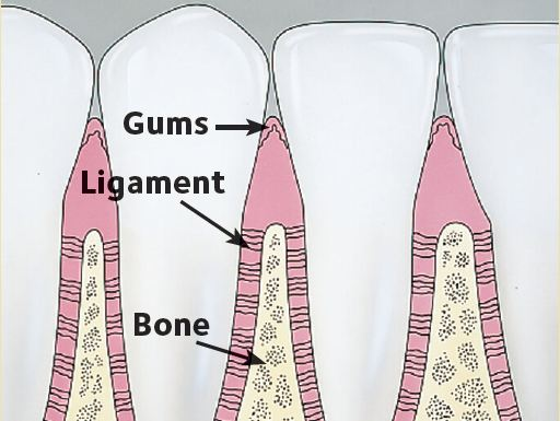 Gums hug the teeth tightly. There is little or no buildup of plaque and tartar