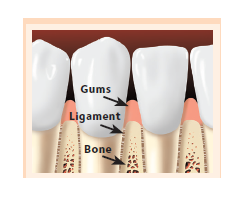 Teeth with gums, ligament, and bone pointed out