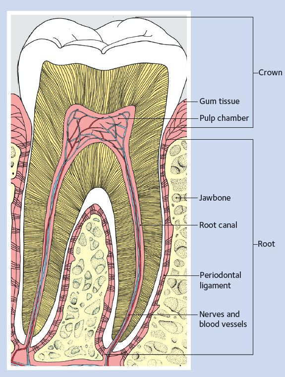 diagram of a healthy tooth showing the root and pulp
